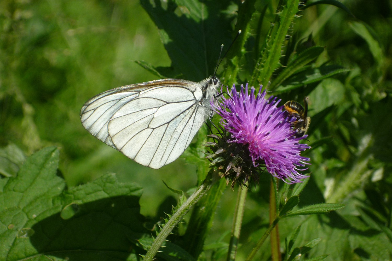 The butterfly species Black-veinedWhite (Aporia crataegi). Photo: Martin Musche