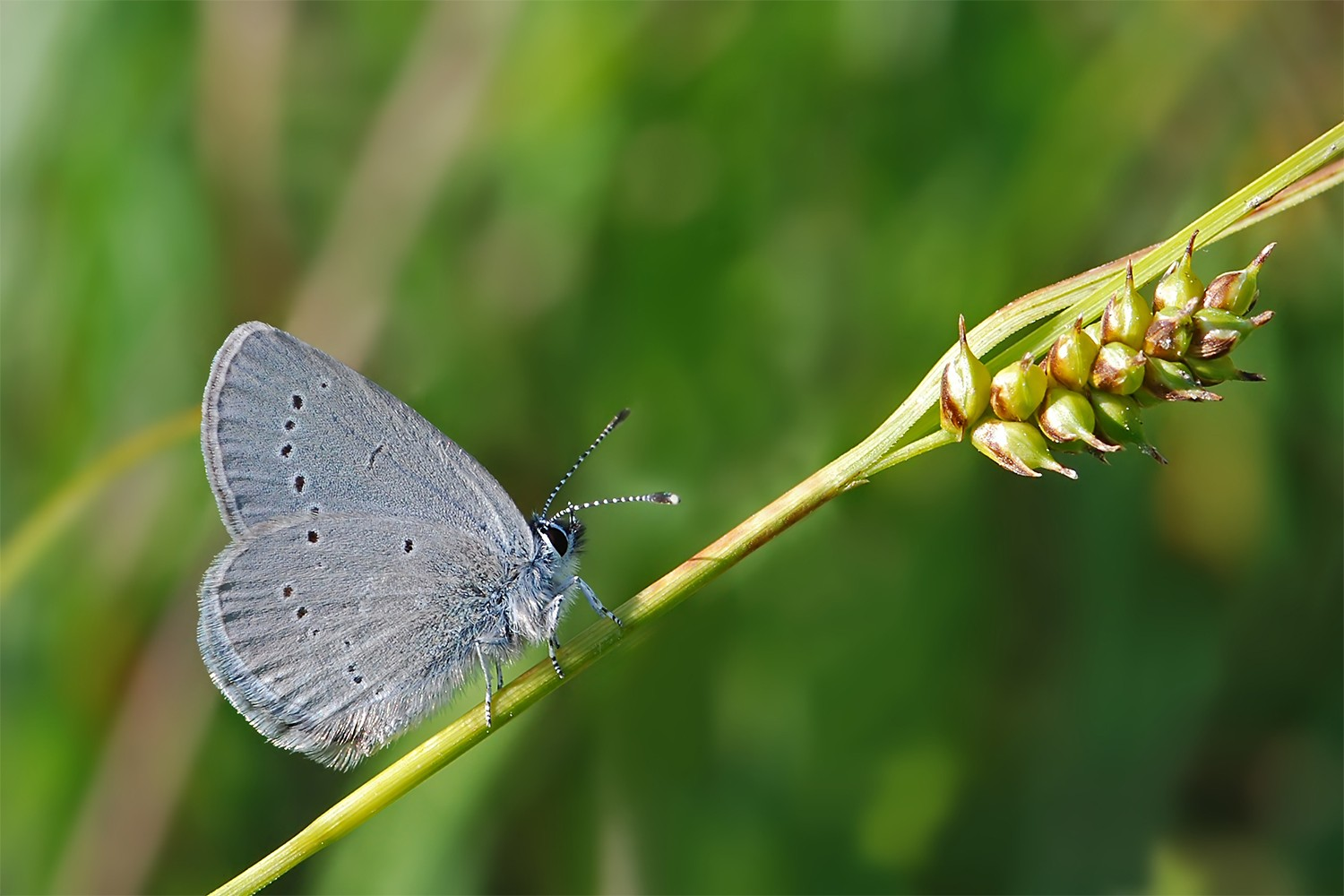 The butterfly species Small Blue (Cupido minimus). Photo: Erk Dallmeyer