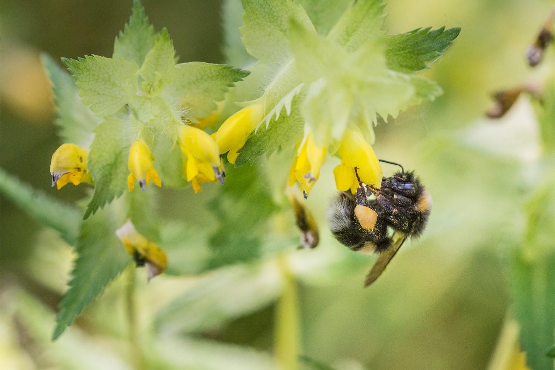 A bee collects pollen from a blossom. Photo: André Künzelmann/UFZ