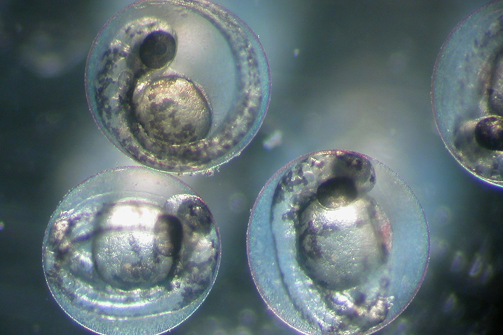 Zebrafish embryos. Photo: André Künzelmann / UFZ